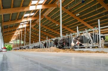 Innenansicht eines modernen Kuhstalls, Ruhezone - Bewegungsbereich