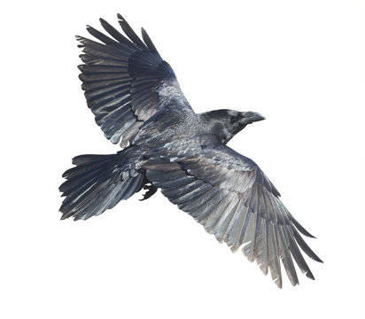 Raven in flight isolated