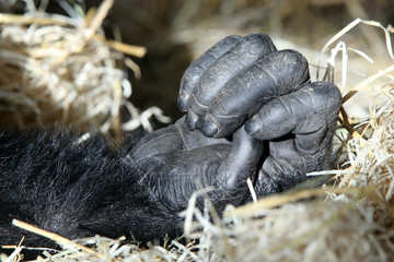 Hand of a chimpanzee