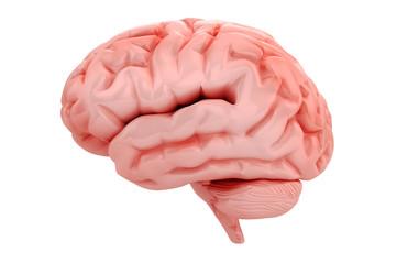 3d brain on white background