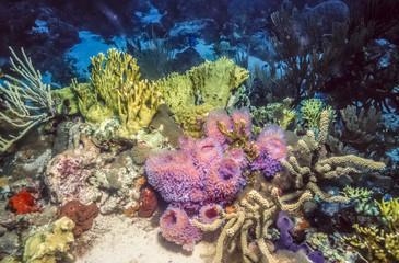 Underwater coral reef in Caribbean