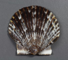 An Atlantic bay scallop (Argopecten irradians)