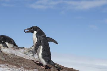 Adélie penguin, Antarctica.