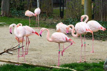 Many beautiful Pink flamingos standing on one leg