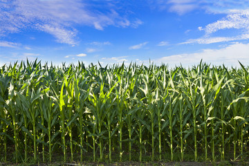 profile of corn crop in South Dakota
