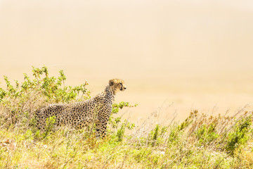 Cheetah look for prey in Serengeti