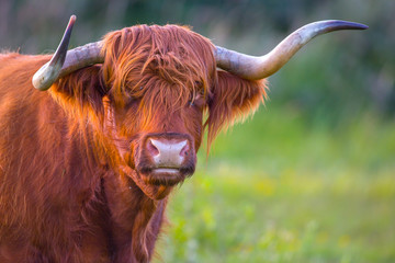 a red haired Scottish highlander cow close up of her head showing her long horns.