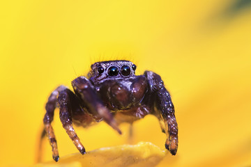 spider horse on the yellow flower petal