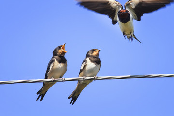 swallows Chicks fight on the wires waiting for mom