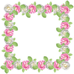 Pink and white roses on a white background. Isolated