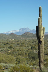 Single cactus with four peaks mountain in the background in Arizona.