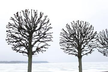 голое дерево в Петергофе