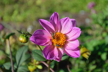 A fly and a wasp on a flower garden of a lavender Dahlia