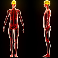 Human Body Organs (Brain)