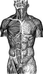 Vintage image human anatomy
