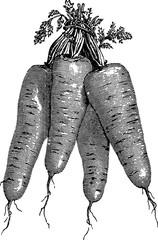 Vintage image carrot