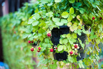 Flower pot with strawberries weighs on the fence in the backyard