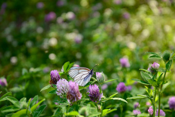 Meadow with clover and butterfly