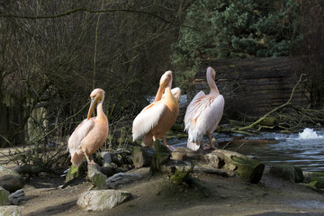 a group of Great White Pelican, Pelecanus onocrotalus, in winter color