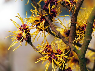 Blooming Hamamelis - Witch Hazel