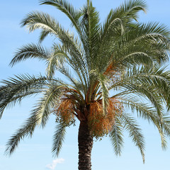 Palm with large evergreen leaves
