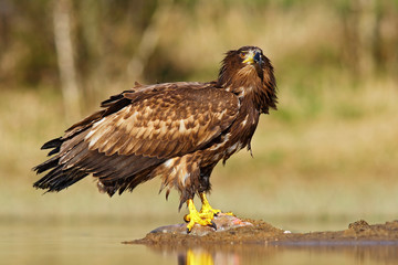 White-tailed Eagle, Haliaeetus albicilla, feeding kill fish in the water, with brown grass in background