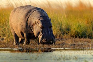 African Hippopotamus, Hippopotamus amphibius capensis, with evening sun, Chobe River, Botswana