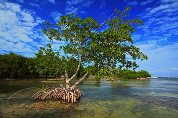 Mangrove tree islet viewed from the water surface, Belize, Central America