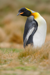 King penguin, Aptenodytes patagonicus sitting in grass with tilted head, Falkland Islands