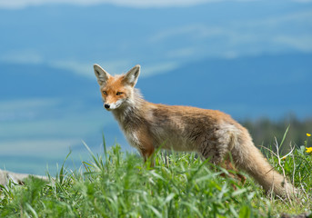 Young red fox standing on the edge of hill, with clean background, Slovakia, Europe