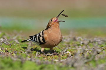 Hoopoe, Upupa epops, bird with open bill with food, Gran Canaria
