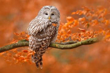 Ural Owl, Strix uralensis, sitting on tree branch, at orange leaves oak forest, Sweden