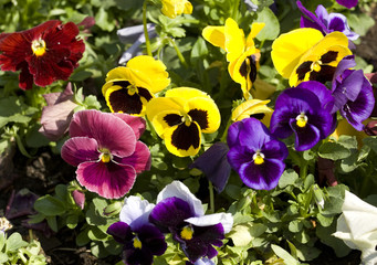 Pansies of different colors.
