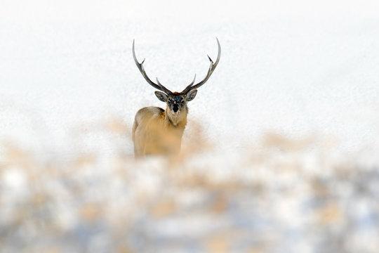 Hokkaido sika deer, Cervus nippon yesoensis, in the white snow, winter scene and animal with antler in the nature habitat, Japan