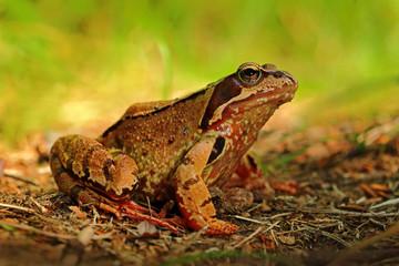 Frog, Rana arvalis, in the grass, nature habitat, Czech Republic