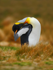 King penguin, Aptenodytes patagonicus sitting in grass and cleaning plumage, Falkland Islands
