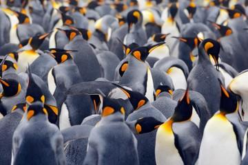Photo sur Plexiglas Pingouin King penguin colony, many birds together, in Falkland Islands