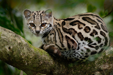 Margay, Leopardis wiedii, beautiful cat sitiing on the branch in the tropical forest, Panama