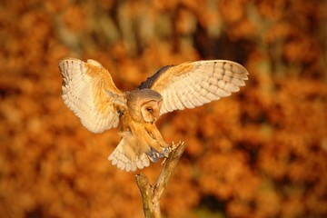 Landing nice Barn Owl in evening nice orange light