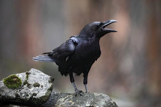 Black bird raven with open beak sitting on the stone