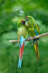 Pair of birds, green parrot Military Macaw, Ara militaris, Costa Rica
