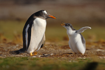 Young gentoo penguin beging food beside adult gentoo penguin, Falkland Islands
