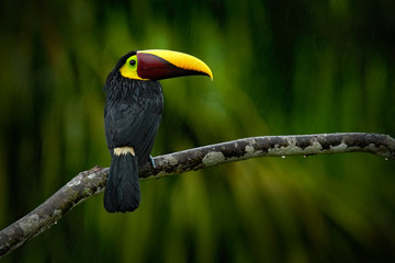 Big beak bird Chesnut-mandibled Toucan sitting on the branch in tropical rain with green jungle background