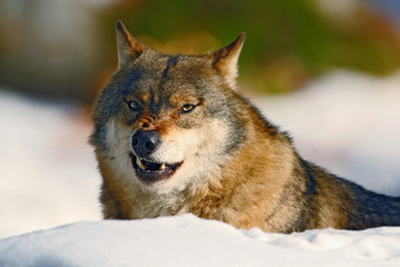 Gray wolf, Canis lupus, portrait at white snow, Norway