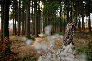 Long-eared Owl in habitat - coniferous forest wit big tree, wide angle lens photo