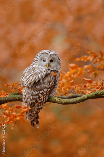 Wall mural Ural Owl, Strix uralensis, sitting on tree branch, at orange leaves oak forest
