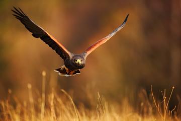 Flying bird of prey, Harris Hawk, Parabuteo unicinctus, in grass Wall mural