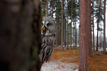 Magic bird Great Gray Owl, Strix nebulosa, hidden of tree trunk with spruce tree forest in backgrond, wide angle lens photo