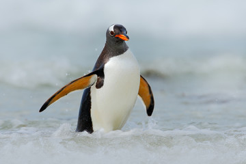 Gentoo penguin jumps out of the blue water while swimming through the ocean in Falkland Island, bird in the nature sea habitat
