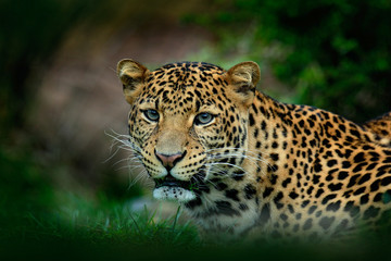Javan leopard, Panthera pardus melas, portrait of cat
